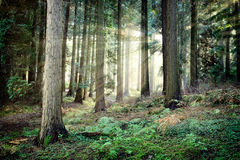 Beautiful sunset in mysterious forest Stock Image
