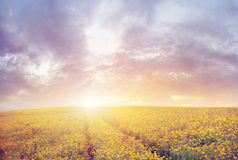 Beautiful sunset over the canola field Royalty Free Stock Images