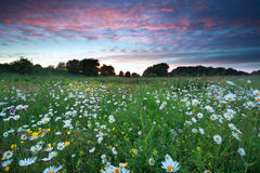 Beautiful sunset over chamomile field Stock Photography