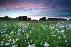 Beautiful sunset over chamomile field Stock Photography