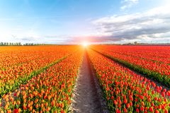 Colorful tulip field. Beautiful sunset over the colorful tulip field Royalty Free Stock Images