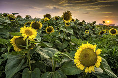 Beautiful sunset over a field of sunflower Royalty Free Stock Images