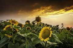 Beautiful sunset over a sunflower field Stock Photography