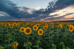 Beautiful sunset over the sunflower field Royalty Free Stock Photography