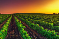 Beautiful Sunset over vineyard field in Europe Royalty Free Stock Images