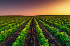 Beautiful Sunset over vineyard field in Europe royalty free stock photo