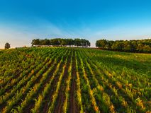 Beautiful Sunset over vineyard fields in Europe. Beautiful Sunset over vineyard field in Europe stock photo