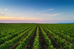 Beautiful Sunset over vineyard rows in Europe. Beautiful Sunset over vineyard in Europe. Agricultural fields royalty free stock images