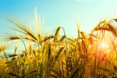 Beautiful sunset over wheat field. Stock Photography