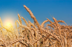 Beautiful sunset over wheat field. Royalty Free Stock Images