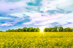 Beautiful sunset over wheat field. Royalty Free Stock Photography