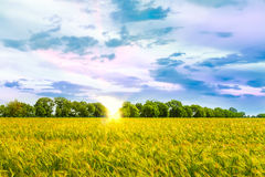 Beautiful sunset over wheat field. Stock Images