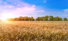 Beautiful sunset over wheat field. Stock Photos