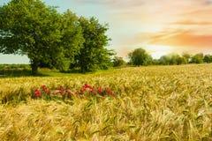 Beautiful sunset over wheat field. Royalty Free Stock Image