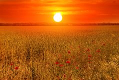 Beautiful sunset over wheat field. Wheat fields and bright red poppy flowers on the background of a hot summer sunset Stock Photo