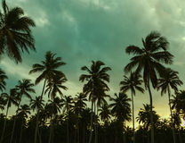 Beautiful sunset, palm trees and azure blue green. And yellow sky Royalty Free Stock Image