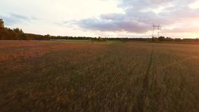 Beautiful sunset at rye field. Low altitude flight. Aerial footage. stock video footage