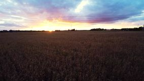Beautiful sunset at rye field. Low altitude flight. Aerial footage. stock footage