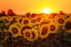 Setting sun on the sunflower field Stock Photography