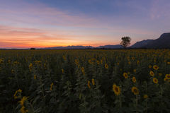 Beautiful after sunset sky over full bloom sunflower field Stock Images