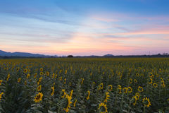 Beautiful after sunset sky over sunflower full bloom Royalty Free Stock Photo