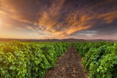 Beautiful sunset sky over a vineyard in the mountains Royalty Free Stock Photo
