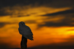 Beautiful sunset sky with owl. Snowy owl, Nyctea scandiaca, rare bird sitting on the tree trunk. Orange sky with evening owl. Earl Stock Photography