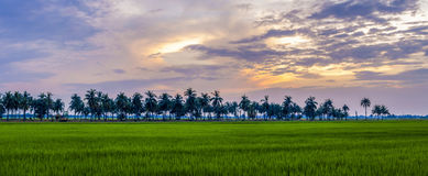Beautiful sunset sky and rice field Royalty Free Stock Image