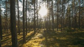 Beautiful Sunset Sun Sunshine In Sunny Summer Coniferous Forest. Sunlight Sunrays Shine Through Woods In Forest. Landscape stock video footage