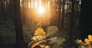 Beautiful sunset sunrise sun sunshine in sunny autumn forest. Sunlight sunrays sunbeams above oak leaf in fall forest. Landscape stock video footage