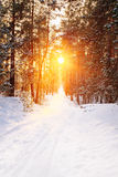 Beautiful sunset sunrise in sunny winter snowy coniferous forest Stock Photo