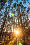 Straight high pine trees in the setting sun stock image