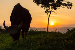 Beautiful sunset with wild Gaur Royalty Free Stock Photography