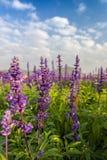 Beautiful Salvia flowers stock photography
