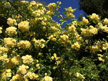 Beautiful Supple branches of Banksiae rose. In pale yellow royalty free stock image