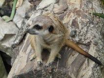 A beautiful suricate [Suricata suricatta]in Krakow ZOO, Poland stock photos