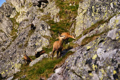 Beautiful surroundings Swinica and wild mountain goats Royalty Free Stock Photos
