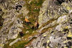 Beautiful surroundings Swinica and wild mountain goats Royalty Free Stock Photography