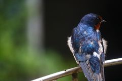 A beautiful swallow perched on a stand royalty free stock photography
