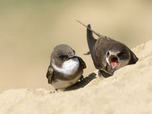 Beautiful swallow Sand Martin, riparia riparia Royalty Free Stock Image