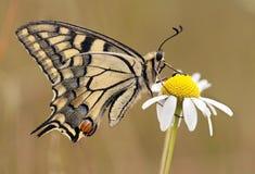 Beautiful Swallowtail butterfly Stock Image