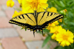 Beautiful swallowtail butterfly on coreopsis flower Stock Photos