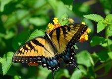 Beautiful Swallowtail Butterfly in a garden area background. Vibrant Swallowtail butterfly at a butterfly garden stock image