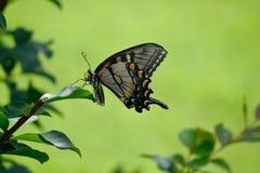 Beautiful Swallowtail Butterfly in a garden area background. Vibrant Swallowtail butterfly at a butterfly garden stock images