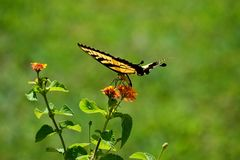 Beautiful Swallowtail Butterfly in a garden area background. Vibrant Swallowtail butterfly at a butterfly garden royalty free stock images