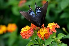 Beautiful Swallowtail Butterfly in a garden area background. Vibrant Swallowtail butterfly at a butterfly garden royalty free stock photography