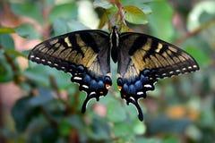 Beautiful Swallowtail Butterfly in a garden area background. Vibrant Swallowtail butterfly at a butterfly garden royalty free stock photo