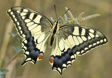 Butterfly in Greece royalty free stock photography