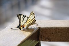 Beautiful Swallowtail butterfly showing her beauty Royalty Free Stock Images