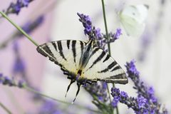 Beautiful Swallowtail butterfly sitting on a lavender flower stock image